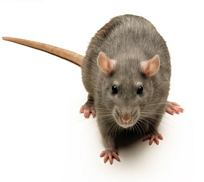 rat[1]